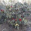 b rtiger rhododendron rhododendron barbatum schneiden pflege pflanzen bilder fotos garten. Black Bedroom Furniture Sets. Home Design Ideas