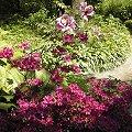 japanische azaleen rhododendron x obtusum syn rhododendron obtusum azalea obtusa schneiden. Black Bedroom Furniture Sets. Home Design Ideas