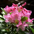 Rhododendron hirsutum Rote Bl�ten
