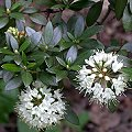 Rhododendron micranthum Rhododendron Juni