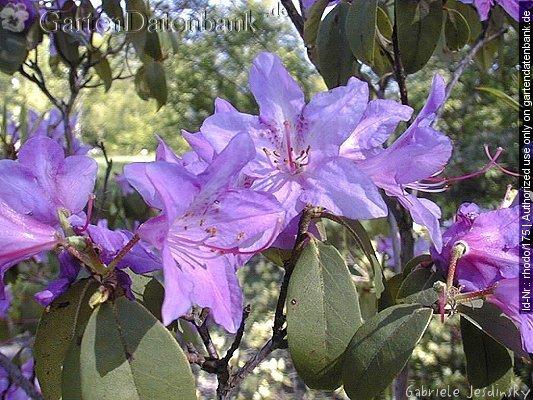 bild rhododendren rhododendron augustinii foto bl ten blaue. Black Bedroom Furniture Sets. Home Design Ideas