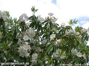 rhododendron auriculatum schneiden pflege pflanzen bilder fotos garten. Black Bedroom Furniture Sets. Home Design Ideas