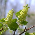 Ribes alpinum April