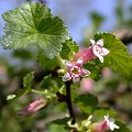 Ribes inebrians April