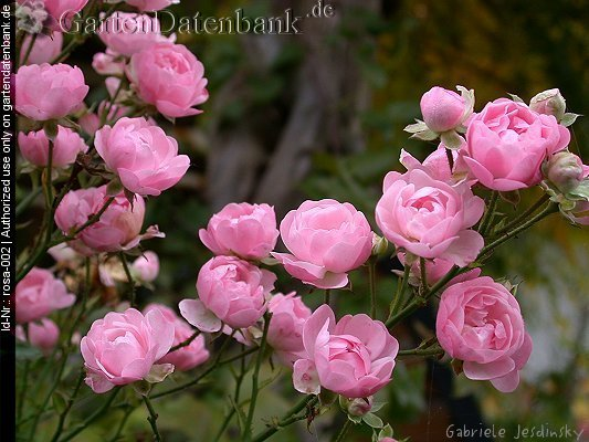 Rose 'The Fairy' Rosa 'The Fairy' Bl�ten, hellrosa, Knospen, Zweige