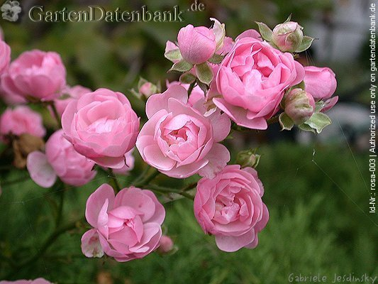 Rose 'The Fairy' Rosa 'The Fairy' Bl�ten, hellrosa, Knospen