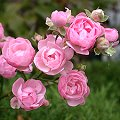 Rose 'The Fairy' Rosa xx_Zuchtsorte_The_Fairy Blüten, hellrosa, Knospen...