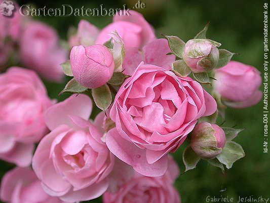 Rose 'The Fairy' Rosa xx_Zuchtsorte_The_Fairy Bl�ten, hellrosa, Knospen, Makro...