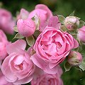 Rose 'The Fairy' Rosa xx_Zuchtsorte_The_Fairy
