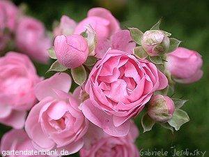 rosenpflege gesunde rosen pflanzen pilzresistente rosensorten erfahrungen rosa gesunde