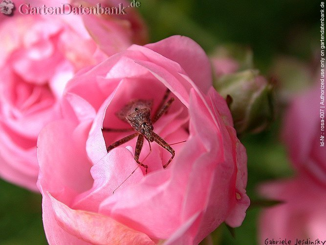 Rose 'The Fairy' Rosa xx_Zuchtsorte_The_Fairy Bl�ten, hellrosa, Makro mit Wanze...