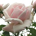 Rose 'New Dawn' Rosa xx_Zuchtsorte_New_Dawn