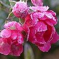 rosen schneiden rosenschnitt einfache anleitung fotos bilder tipps rosa alle rosen und. Black Bedroom Furniture Sets. Home Design Ideas