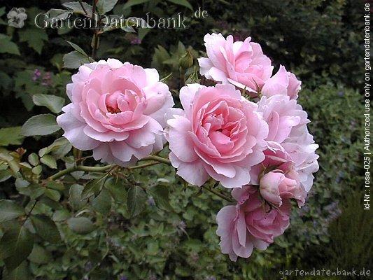 bild rose 39 bonica 82 39 erfahrungsbericht pflege schneiden beetrose rosa 39 bonica 82 39 foto. Black Bedroom Furniture Sets. Home Design Ideas