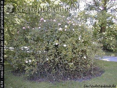 Rose bonica 82 erfahrungsbericht pflege schneiden beetrose