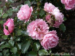 Rose sommerwind erfahrungsbericht pflege schneiden beetrose