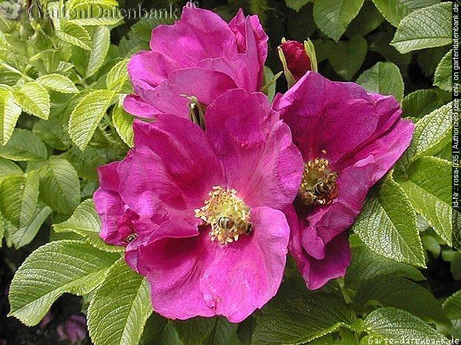 bild kartoffelrose apfelrose rosa rugosa foto bl ten dunkelrosa bl tter makro bienen. Black Bedroom Furniture Sets. Home Design Ideas