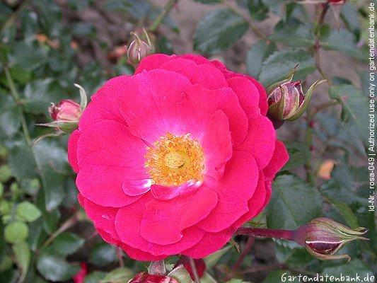 rose 39 heidefeuer 39 erfahrungsbericht pflege schneiden bodendeckerrose bilder fotos rosa. Black Bedroom Furniture Sets. Home Design Ideas