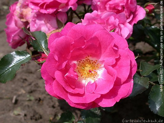 rose 39 heidetraum 39 erfahrungsbericht pflege schneiden bodendeckerrose bilder fotos rosa. Black Bedroom Furniture Sets. Home Design Ideas