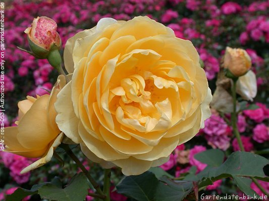 bild duftrosen duftende rosen erfahrungsbericht rosa. Black Bedroom Furniture Sets. Home Design Ideas