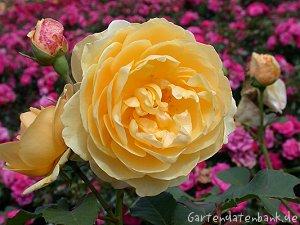 duftrosen duftende rosen erfahrungsbericht rosa. Black Bedroom Furniture Sets. Home Design Ideas