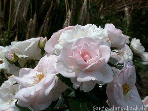 rose 39 aspirin 39 erfahrungsbericht bodendeckerrose rosa. Black Bedroom Furniture Sets. Home Design Ideas
