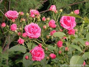 rose 39 elmshorn 39 erfahrungen pflege schneiden strauchrose rosa 39 elmshorn 39 schneiden pflege. Black Bedroom Furniture Sets. Home Design Ideas
