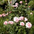 Hybrid Tea rose habitus after radical pruning in spring