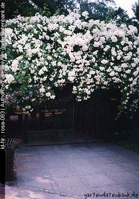 rambler rose pflanzen die sch nsten ramblerrosen mit duft. Black Bedroom Furniture Sets. Home Design Ideas