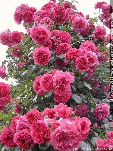 rose 39 rosarium uetersen 39 bilder fotos rosa 39 rosarium. Black Bedroom Furniture Sets. Home Design Ideas