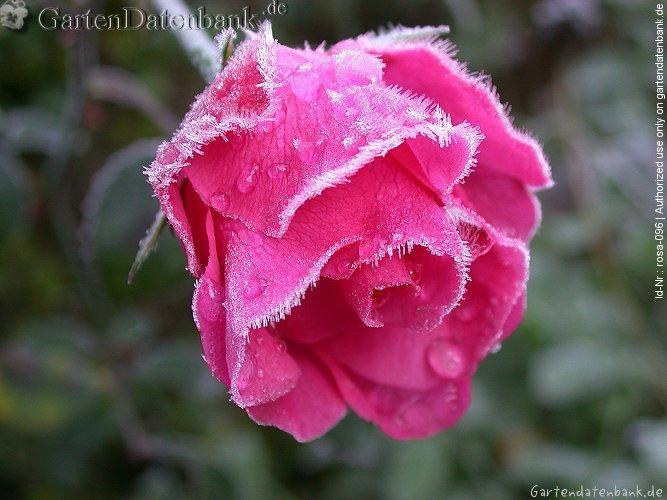 rose 39 bella rosa 39 erfahrungsbericht pflege schneiden beetrose bilder fotos rosa 39 bella. Black Bedroom Furniture Sets. Home Design Ideas