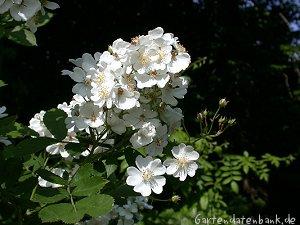 vielbl tige rose rosa multiflora schneiden pflege pflanzen bilder fotos garten. Black Bedroom Furniture Sets. Home Design Ideas