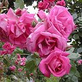 Rosa xx Zuchtsorte Morning Jewel Rote Bl�ten