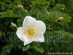 bibernellrose d nenrose rosa pimpinellifolia syn rosa spinosissima rosa myriacantha. Black Bedroom Furniture Sets. Home Design Ideas