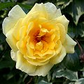 Rosa xx Zuchtsorte Golden Showers Juni Gelb