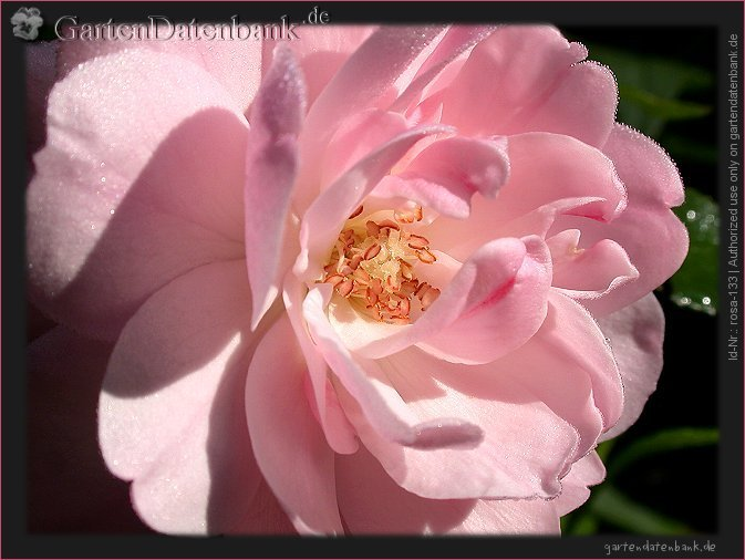 rose 39 bonica 82 39 erfahrungsbericht pflege schneiden beetrose bilder fotos rosa 39 bonica. Black Bedroom Furniture Sets. Home Design Ideas