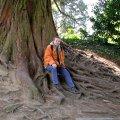 mammutbaum bergmammutbaum sequoiadendron giganteum schneiden pflege pflanzen bilder fotos garten. Black Bedroom Furniture Sets. Home Design Ideas
