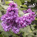 Syringa vulgaris Blaue Bl�ten