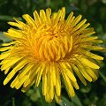 Taraxacum officinale Gem�se