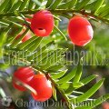 Taxus baccata Nadelgeh�lze