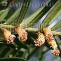 Frühblüher Sträucher Eibe Taxus baccata Männliche Blüten.