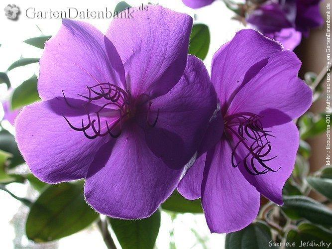 zimmerpflanzen lila bl ten bromelie vriesea lila topfpflanzen zimmerpflanzen blumen. Black Bedroom Furniture Sets. Home Design Ideas