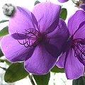 Tibouchina urvilleana Blüten
