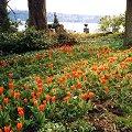 Frühblüher Wildtulpe Tulipa praestans Rote Wildtulpen im Park der Insel Mainau.