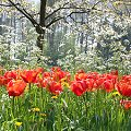 Trips xx_Mainau_Fr�hling Rote Tulpen auf Parkwiese...