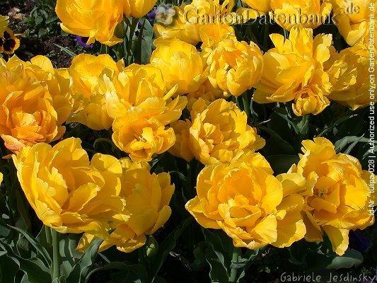 tulpen bilder fotos tulipa spec infos bild mit infos. Black Bedroom Furniture Sets. Home Design Ideas