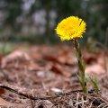 Frühblüher Huflattich Tussilago farfara Blütenstängel mit gelben Blüten und rötlichen Schuppenblättern.
