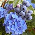 Gartenheidelbeere (Vaccinium corymbosum) blaue Beeren vor Hortensie (Hydrangea macrophylla)