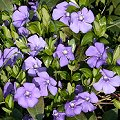 Vinca minor Fr�hlingsblumen