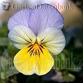 Viola tricolor April Blau Schatten
